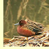 Cinnamon Teal;  photo by May & Godwin Woon