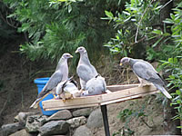 Banded Pigeons