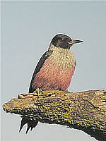 Lewis's Woodpecker; photo by Len Blumin