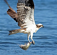 Osprey - photograph by Don Bruschera