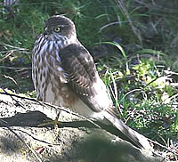 Juvenile Sharp-shinned Hawk - photograph by Dr Tom Kuhn