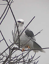 White-tailed Kite - photograph by Louise Won